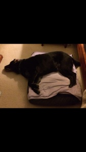 Guide dog asleep